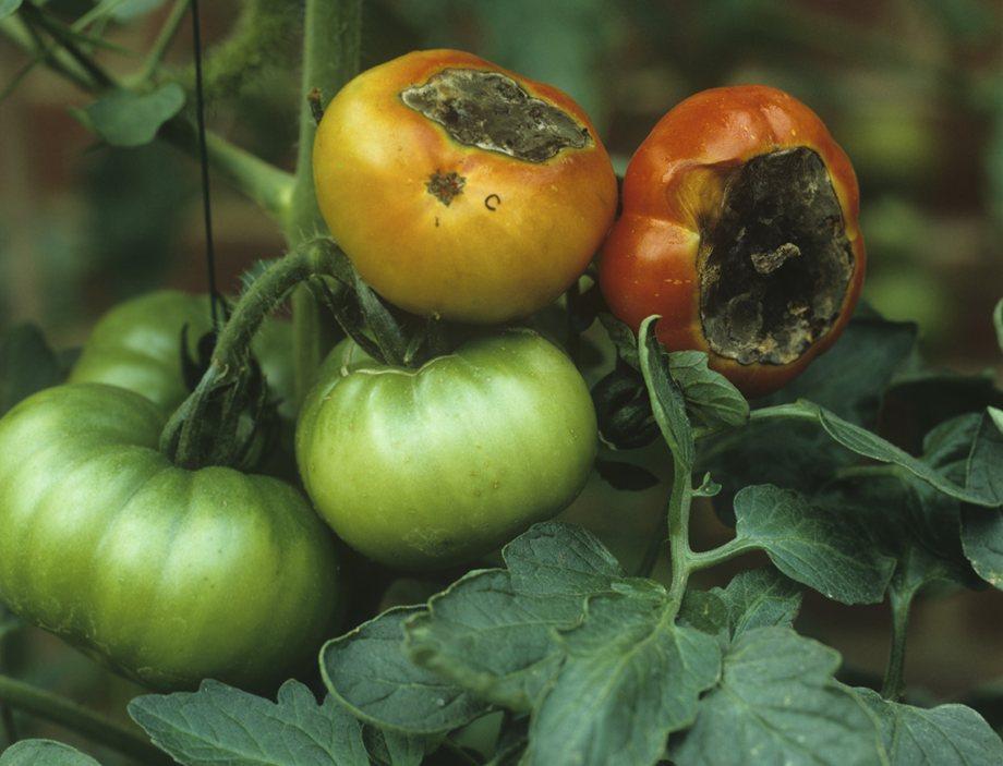 нехватка кальция у томатов