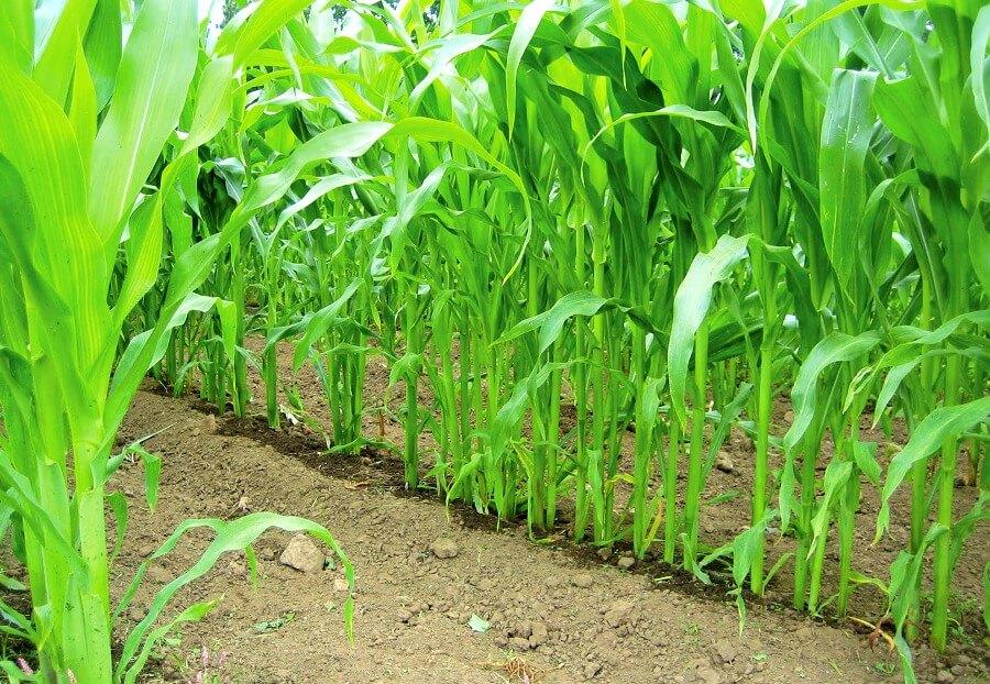 выращивание кукурузы капельным поливом