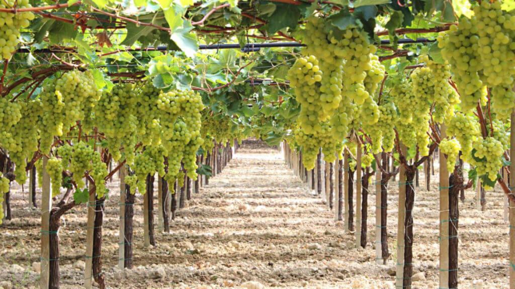 Капельный полив виноградной лозы