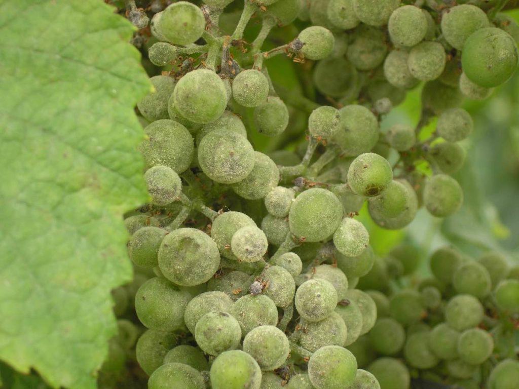 Мучнистая роса на ягодах винограда
