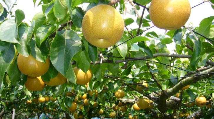 Закаливание плодовых деревьев
