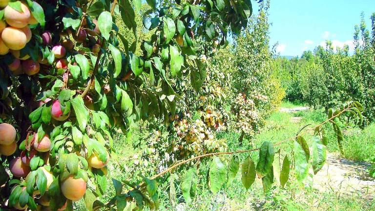 сады яблоневые