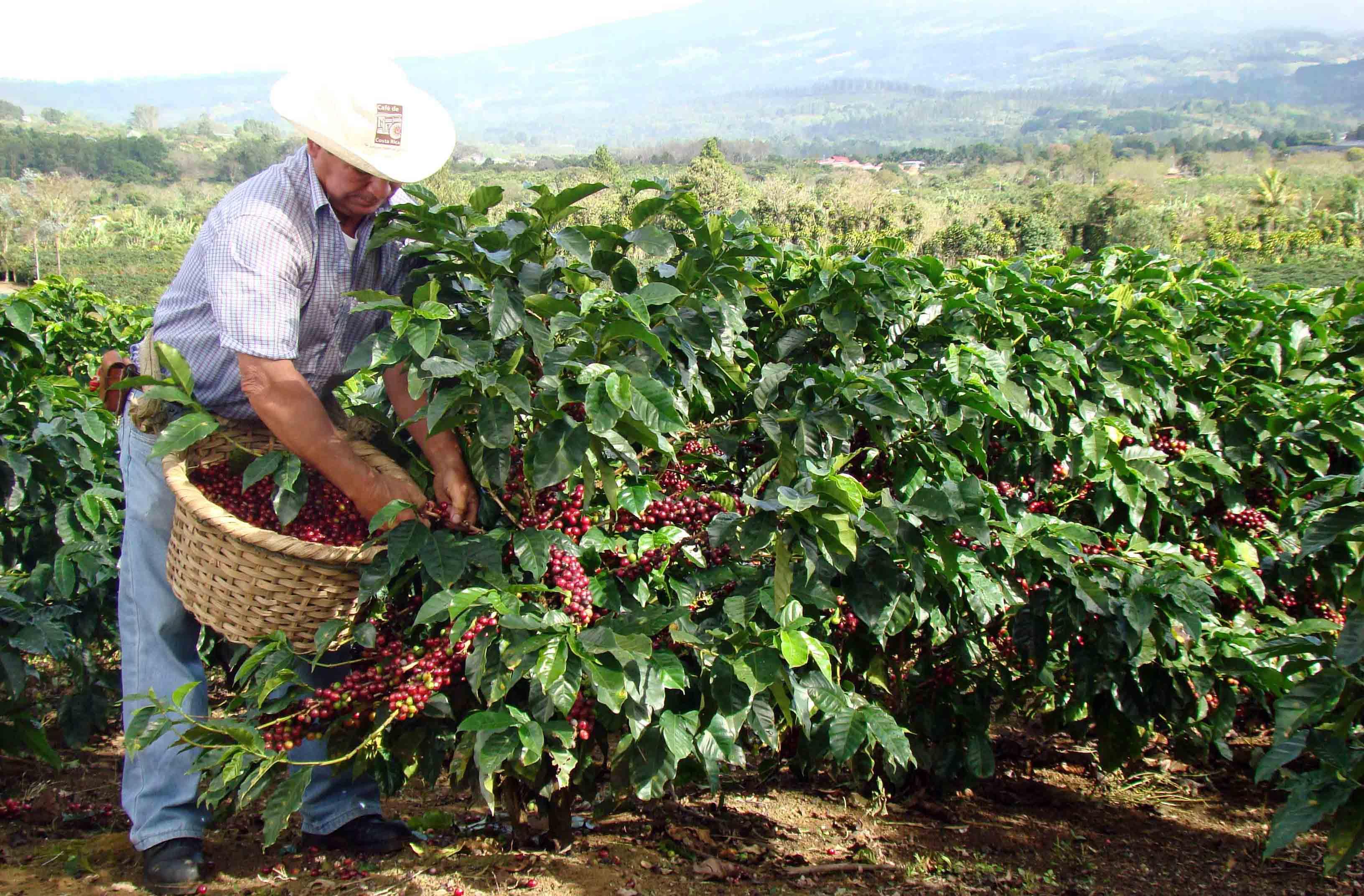 Капельное орошение кофейных плантаций