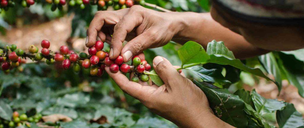 Капельный полив кофейных плантаций
