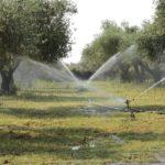 Орошение оливкового дерева