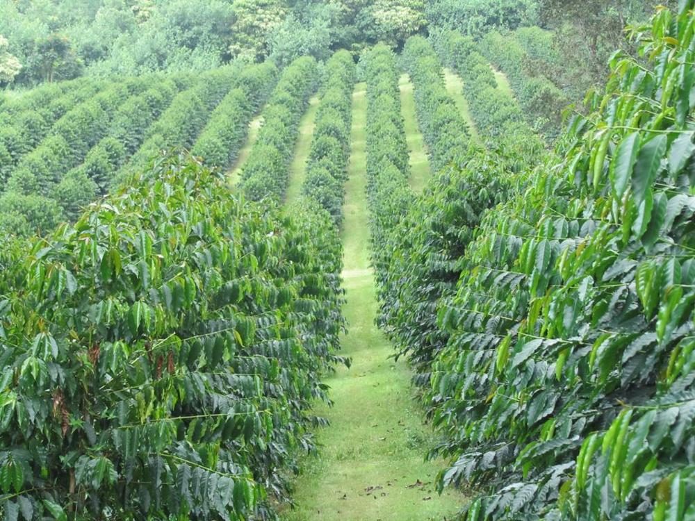 Разветвленная система выращивания кофе